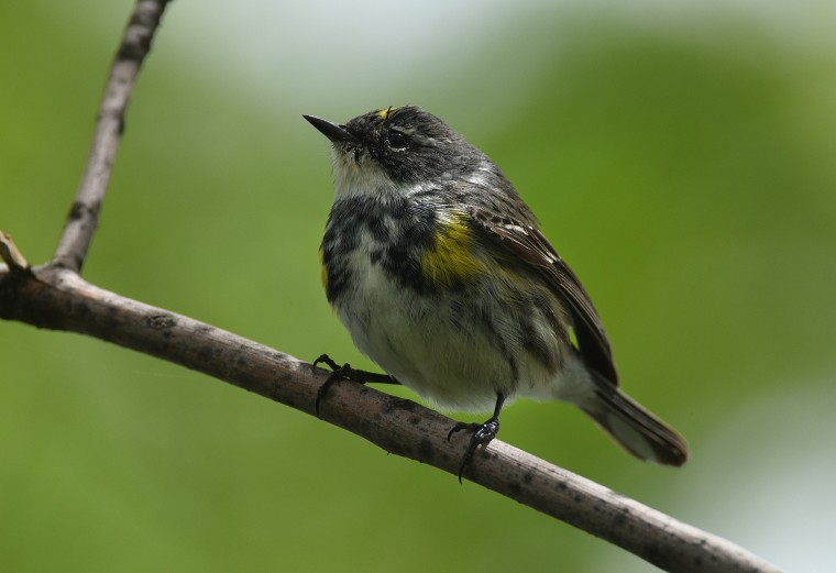 A Yellow-rumped warbler looks for food in Druid Hill Park on Sunday afternoon. (Jerry Jackson/Baltimore Sun)