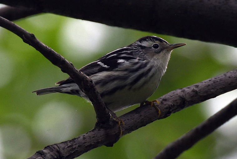 A Black-and-white warbler perches in a cherry tree in Towson.  (Jerry Jackson/Baltimore Sun)