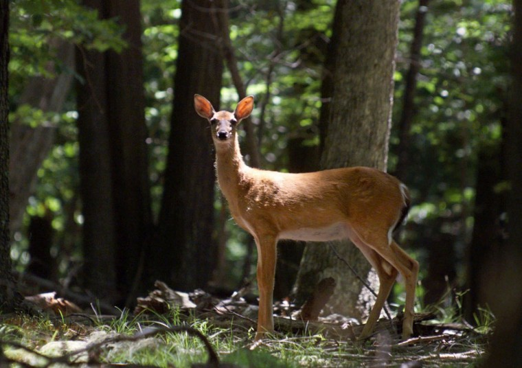 A deer grazes in Camp David, Md. in this July 8, 2000 file photo. While thousands of tourists were at the White House, President Bush went to Camp David, the only place where he could still drive, run with his two dogs and relax in privacy. (AP Photo/Scott Applewhite, File)