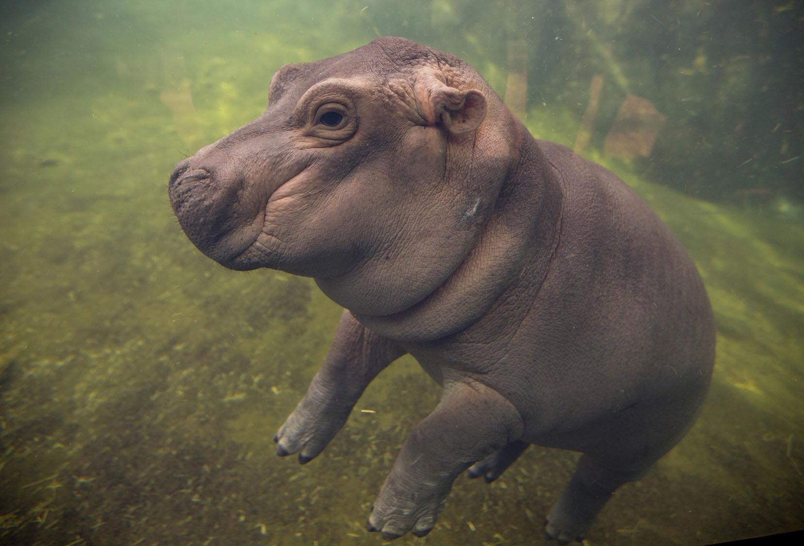 Fiona, Cincinnati's baby hippo, makes her debut