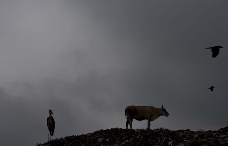 A Greater Adjutant stork sits as a cow feeds from a garbage dumping site on the outskirts of Gauhati, Assam state, India, Monday, June 5, 2017. Monday marks World Environment Day. (AP Photo/Anupam Nath)