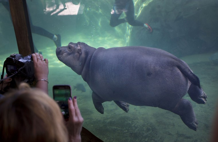 Fiona makes her debut to the media in Hippo Cove at the Cincinnati Zoo and Botanical Garden, Wednesday, May 31, 2017, in Cincinnati. The zoo emphasizes she isn't ready for public display but the media-only event was a step toward that. Fiona was born Jan. 24, weighing 29 pounds (13 kilograms). (Liz Dufour/The Cincinnati Enquirer via AP)