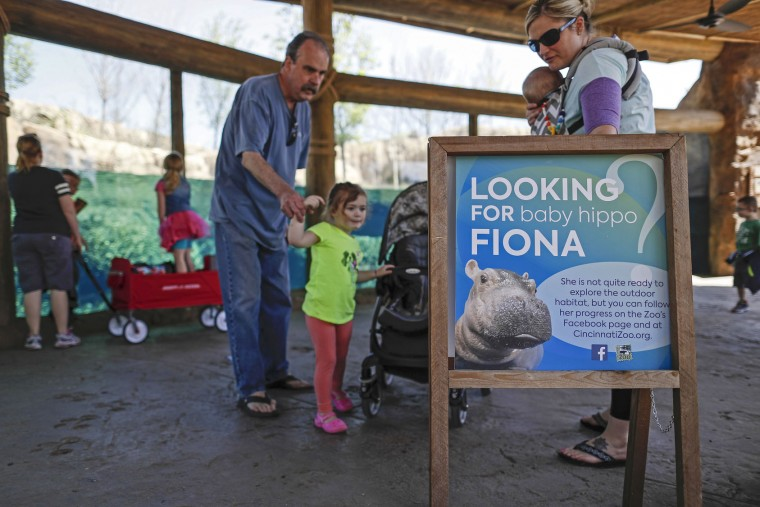 FILE – In this April 12, 2017, file photo, visitors read a sign about a Nile hippopotamus named Fiona born prematurely Jan. 24, as they pass through the Hippo Cove exhibit at the Cincinnati Zoo & Botanical Garden in Cincinnati. The zoo scheduled a Wednesday, May 31, event for news media to photograph the female hippo navigating a 9-foot-deep pool in the exhibit, a step toward Fiona eventually appearing in the exhibit during the zoo's public operating hours. (AP Photo/John Minchillo, File)