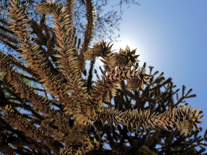 "The owner of this ""Monkey Puzzle Tree, a Chilean Pine (Araucaria araucana) thinks that the tree may have been named such because monkeys would have a difficult time climbing the evergreen because of its extremely sharp leaves.   (Karl Merton Ferron/Baltimore Sun)"