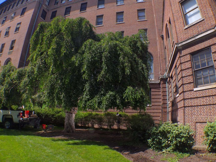 "The ""Al Capone tree,"" a City Champion weeping cherry (Prunus subhirtella 'Pendula') still grows at Union Memorial Hospital on 33rd Street, one notable tree inside Baltimore City. Reports state that Capone visited the hospital for treatment in 1939, and he subsequently donated two weeping cherry trees as a gesture of thanks for their hospitality.   (Karl Merton Ferron/Baltimore Sun)"