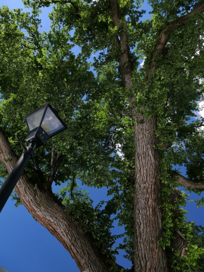 The Frederick Douglass Memorial Tree - an English Elm (Ulmas porcera) spreads shade on Sharp Street at Hermitage Park in Otterbein, near Oriole Park at Camden Yards, one notable tree inside Baltimore City.  (Karl Merton Ferron/Baltimore Sun)