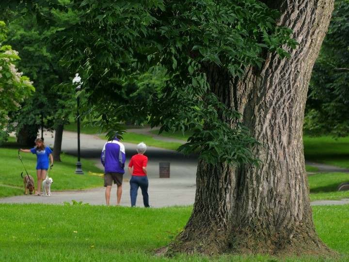 Once a stately tree, the Amur Cork tree (Phellodendron amurense) at Patterson Park fell victim to an aggressive trimming by a contractor some years ago.  (Karl Merton Ferron/Baltimore Sun)