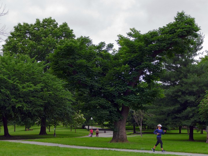 Once a stately tree, the Amur Cork tree (Phellodendron amurense) at Patterson Park fell victim to an aggressive trimming by a contractor, some years ago.  (Karl Merton Ferron/Baltimore Sun)