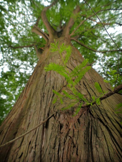A small green branch reaches from the trunk of a Baltimore City Champion Bald Cypress (Taxodium, distichum) reaches above the canopy of other trees at Evesham Park, off Northern Parkway.  (Karl Merton Ferron/Baltimore Sun)
