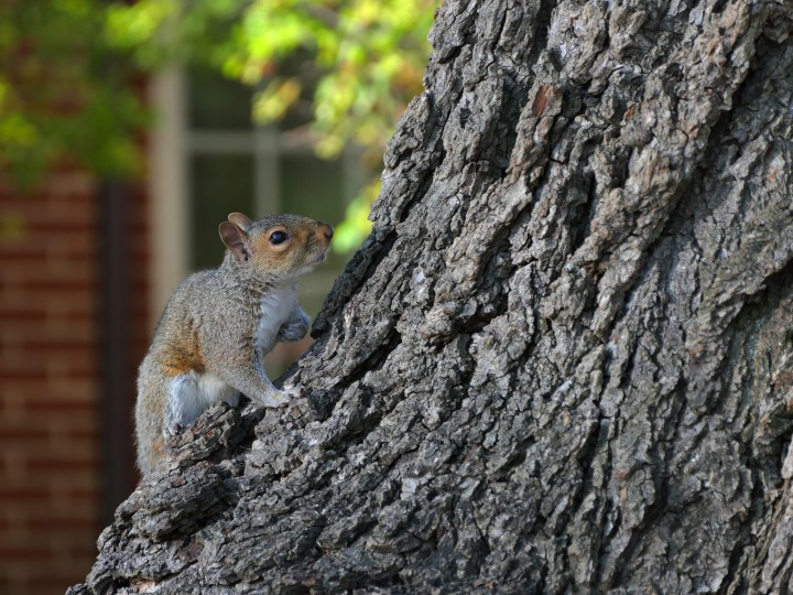 A squirrel looks up for two others who dart about the trunk of the Frederick Douglass Memorial Tree - an English Elm (Ulmas porcera) spreads shade on Sharp Street at Hermitage Park in Otterbein, near Oriole Park at Camden Yards.  (Karl Merton Ferron/Baltimore Sun)