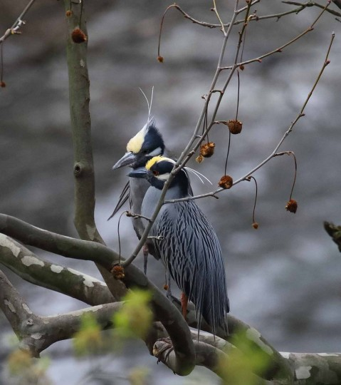 """Looks like a pair here!!!"" Williams wrote in the caption for this shot of two yellow-crowned night herons taken April 4, 2017. Williams said the birds usually arrive in Baltimore around March 17. (Photo courtesy of George Washington Williams)"