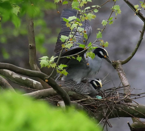 """So time moves on, 1st egg in new nest and they are mating again,"" Williams wrote on April 24, 2017. This is his sixth year watching the birds -- he typically comes twice a day to photograph them. (Photo courtesy of George Washington Williams)"