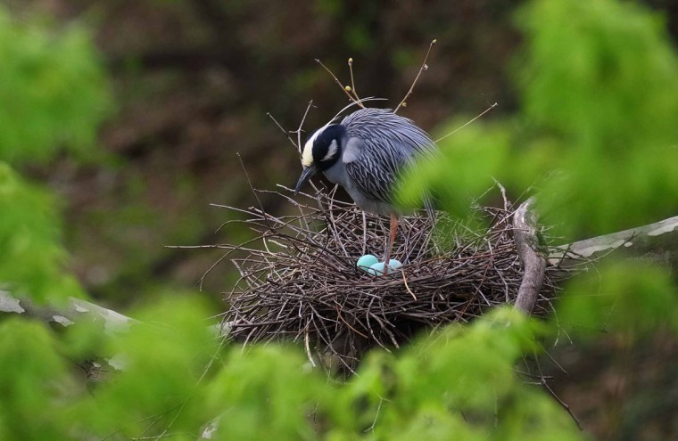 Photo of adult yellow-crowned night heron with three eggs taken April 14, 2017. (Photo courtesy of George Washington Williams)