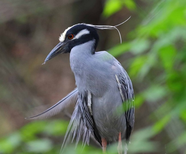 Photo of yellow-crowned night heron taken on April 17, 2017. Ornithologist George Washington Williams watches the birds every year as they settle in Baltimore for mating season; he says they arrive in the city around March 17, St. Patrick's Day. (Photo courtesy of George Washington Williams)
