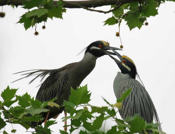 Photo of yellow-crowned night herons taken May 1, 2017. (Photo courtesy of George Washington Williams)