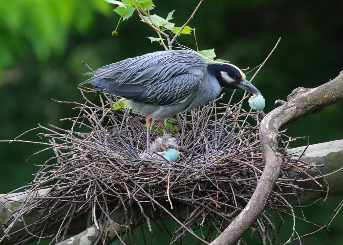 Yellow-crowned night herons of the Jones Falls