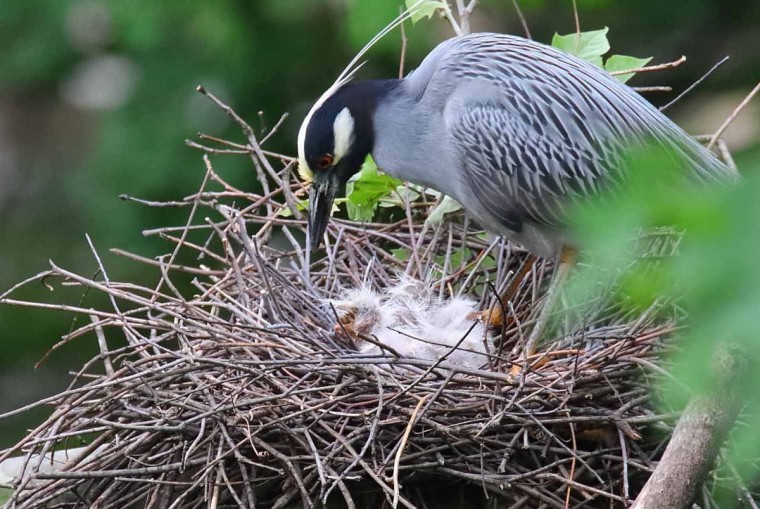"""Amazing to see so many chicks hatch in one day,"" Williams wrote May 12, 2017. ""This is year 6 for me and I've never seen anything like this."" (Photo courtesy of George Washington Williams)"