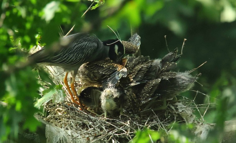 Feeding time for the yellow-crowned night heron as the father drops food for the young. Photo taken on June 15, 2017. (Photo courtesy of George Washington Williams)