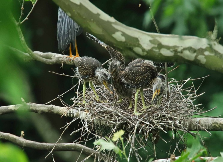 Photo of yellow-crowned night herons taken on June 14, 2017. (Photo courtesy of George Washington Williams)