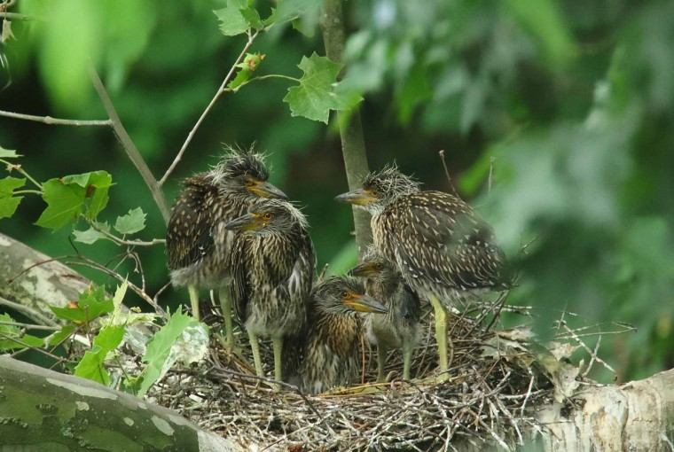 Photo of yellow-crowned night herons taken on June 16, 2017. (Photo courtesy of George Washington Williams)