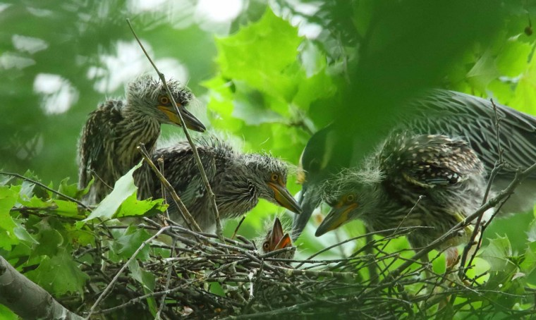 Photo of chicks in nest taken on June 18, 2017. (Photo courtesy of George Washington Williams)