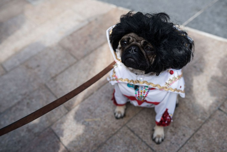'Elvis' the pug dog attends PugFest Manchester, a festival celebrating pugs and pug cross dogs, held at MediaCityUK in Salford, Greater Manchester, northern England on July 16, 2017. (OLI SCARFF/AFP/Getty Images)