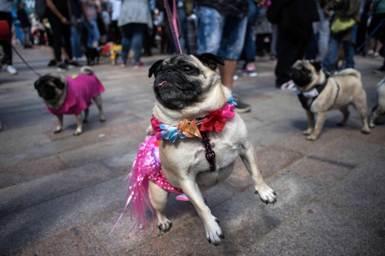 Pug dogs and their owners attend PugFest Manchester, a festival celebrating pugs and pug cross dogs, held at MediaCityUK in Salford, Greater Manchester, northern England on July 16, 2017. (OLI SCARFF/AFP/Getty Images)