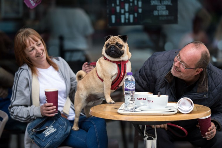 A pug dog and its owners have a drink in a cafe before attending PugFest Manchester, a festival celebrating pugs and pug cross dogs, held at MediaCityUK in Salford, Greater Manchester, northern England on July 16, 2017. (OLI SCARFF/AFP/Getty Images)