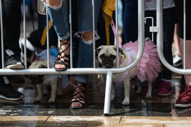 Pug dogs and their owners watch the competition for the 'pug dressed in the best outfit' at PugFest Manchester, a festival celebrating pugs and pug cross dogs, held at MediaCityUK in Salford, Greater Manchester, northern England on July 16, 2017.  (OLI SCARFF/AFP/Getty Images)