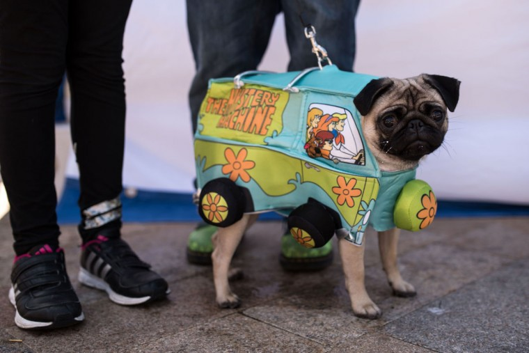 A pug dog attends PugFest Manchester, a festival celebrating pugs and pug cross dogs, held at MediaCityUK in Salford, Greater Manchester, northern England on July 16, 2017. (OLI SCARFF/AFP/Getty Images)
