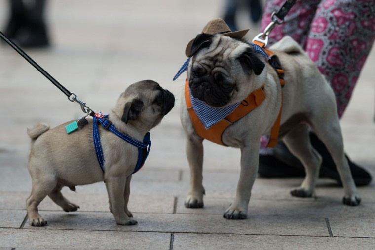 Pug dogs and their owners arrive at PugFest Manchester, a festival celebrating pugs and pug cross dogs, held at MediaCityUK in Salford, Greater Manchester, northern England on July 16, 2017. (OLI SCARFF/AFP/Getty Images)