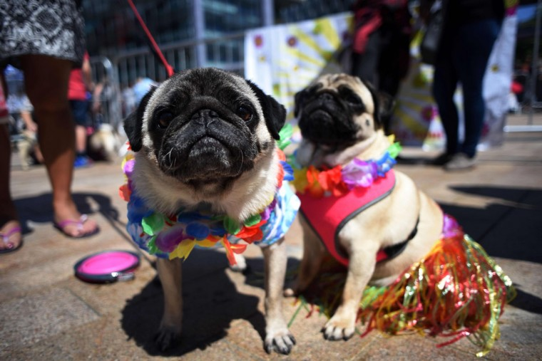 Pug dogs Kobi (L) and Lily attend PugFest Manchester, a festival celebrating pugs and pug cross dogs, held at MediaCityUK in Salford, Greater Manchester, northern England on July 16, 2017. (OLI SCARFF/AFP/Getty Images)