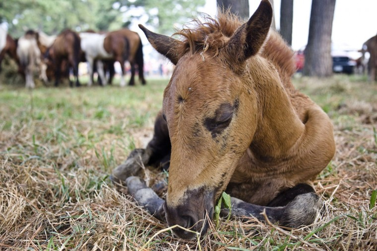 A foal sleeps in the holding corral after swimming across Assateague Channel and parading through Chincoteague, Va., during the 83rd annual Pony swim on Wednesday, July 30 , 2008. About 150 wild ponies are recuperating after the annual crossing of the 200-yard channel between Assateague Island, Maryland, and Chincoteague. Ponies are auctioned each year to raise money for the Chincoteague Volunteer Fire Company, which cares for the Virginia herd. (AP Photo/Virginian-Pilot, Adam Sings In The Timber)
