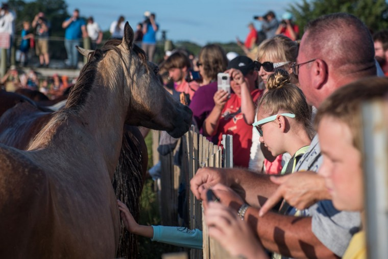 "A horse walks up to attendees after swimming from Assateague Island to Chincoteague Island, Va., during ""slack tide"" at the 92nd Annual Chincoteague Pony Swim on Wednesday, July 26, 2017. (Michael Ares / The Baltimore Sun)"