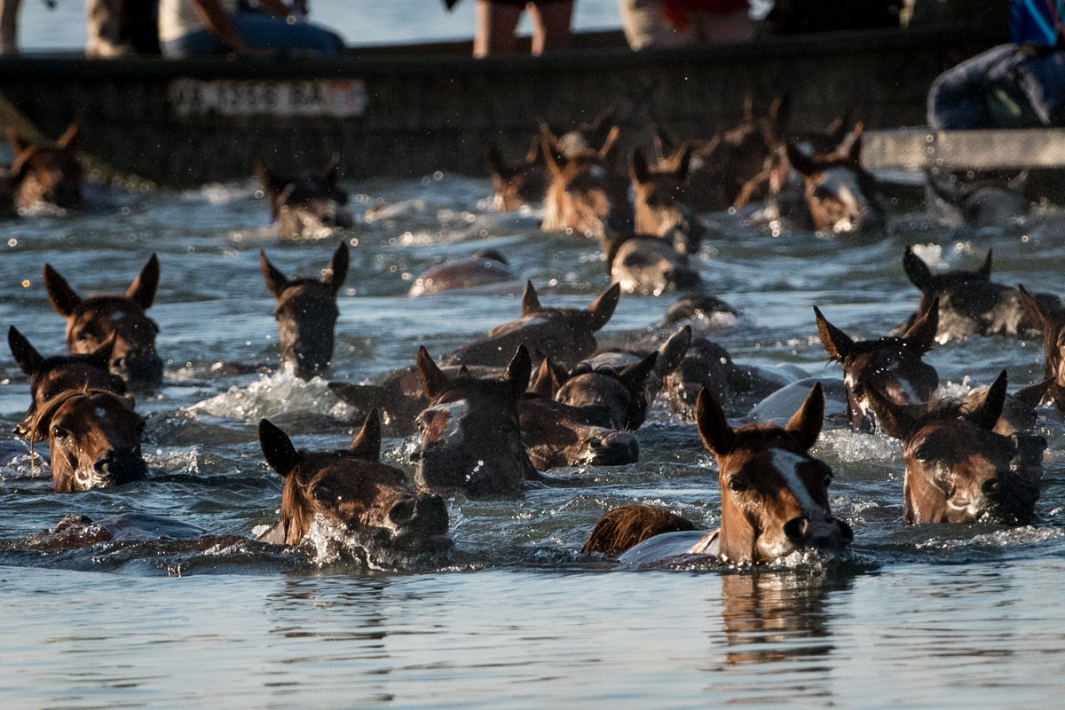 The 92nd annual Chincoteague pony swim