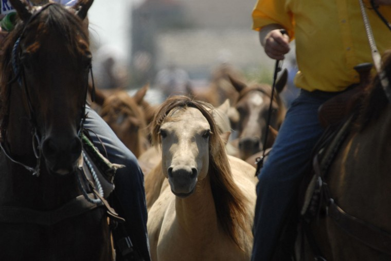 Chincoteague Ponies are lead into the corral after being paraded through the island streets following the 86th annual Chincoteague Pony Swim on Wednesday, July 27, 2011. Photo by Jay Diem/Daily Times