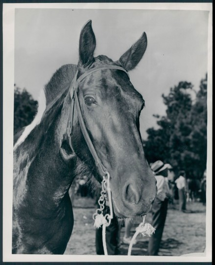 Pony at Chincoteague Island, photo dated 1946. (Baltimore Sun archives)
