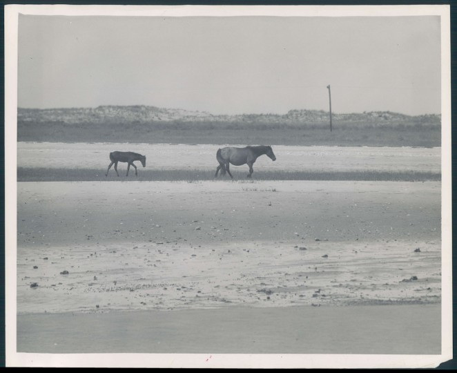 Chincoteague Island Pony Roundup, photo dated September 20, 1946. (Baltimore Sun archives)