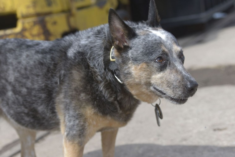 Jack, a blue heeler, likes to follow the captain around the John W. Brown. (Christina Tkacik/Baltimore Sun)