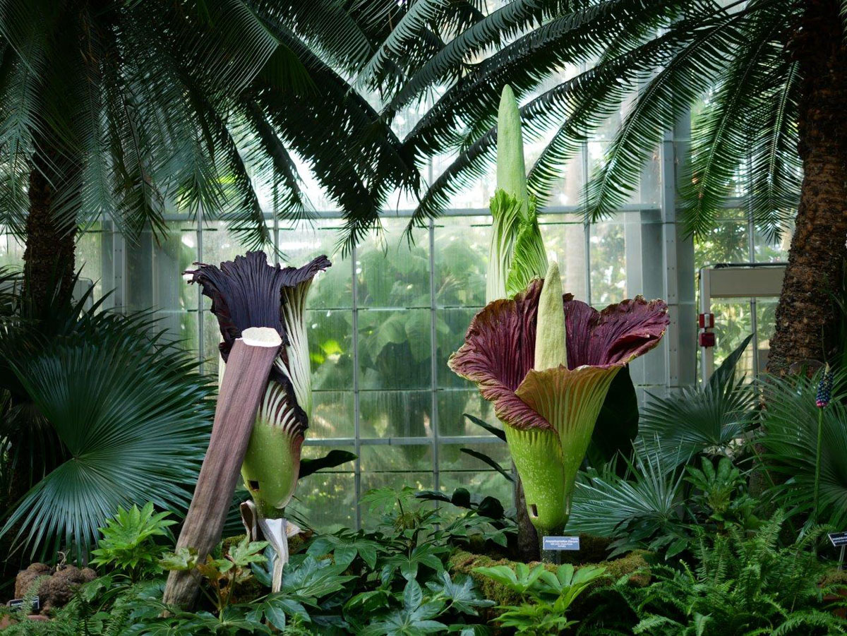 What's that smell in DC? Three corpse flowers are in bloom at the U.S. Botanic Garden