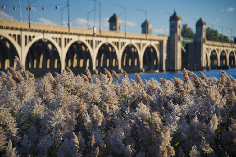 Phragmites sway in the breeze at West Covington Park in front of the Vietnam Veterans Memorial Bridge, known by many as the Hanover Street Bridge, which links Baltimore and Port Covington with Cherry Hill, Brooklyn and Curtis Bay. (Karl Merton Ferron / Baltimore Sun)
