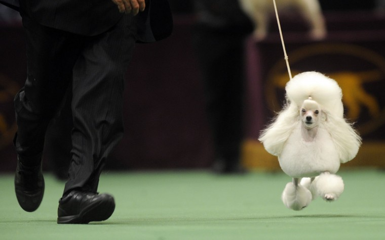 Past Winners And Competitors At The Westminster Dog Show