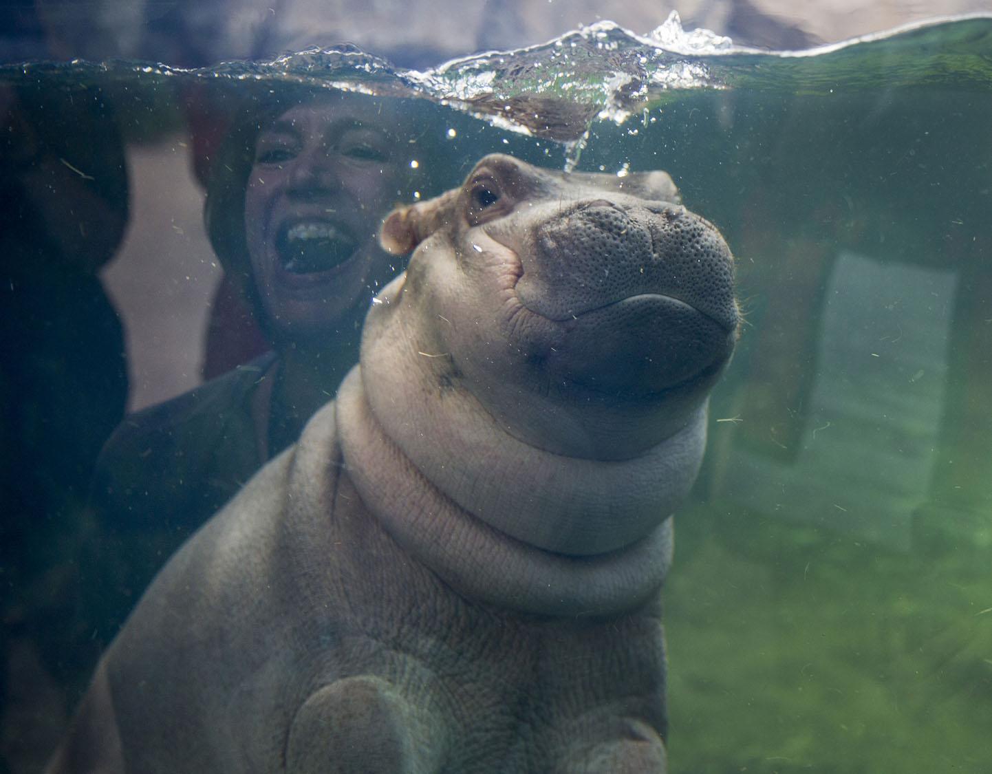 Fiona Cincinnati S Baby Hippo Makes Her Debut